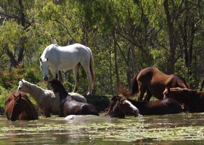 horseswim